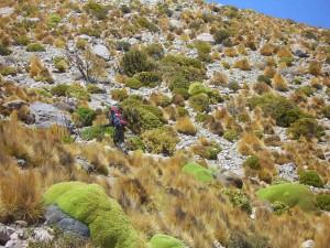 La ruta entre llaretas, acarreos y yerbas